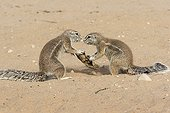 South african ground squirrels competing an object Africa