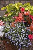 "Tuberoius Begonia Lobelia and Coleus in pot France ; Begonia ""Salmon Enlightenment"" <br> Lobelia ""Techno Blue"" Coleus ""Golden Wizard"""