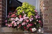 Impatiens Coleus Begonia drooping and Lobelia in pot