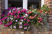 "Impatiens Begonia and Lobelia in pot in summer ; Impatiens ""Cupido Blue"" and ""Cupido Rose"" Begonia ""Dragon Wings Rose"" <br>Lobelia ""Temptation Blanc"""
