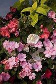 "Impatiens Coleus Begonia drooping and Lobelia in pot ; Impatiens ""Cranberry Blend"" Coleus ""Golden Wizard"" Begonia drooping ""White Illumination"" Lobelia ""Temptation Blanc"""