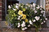"Impatiens Begonia and Lobelia in pot in summer in pot ; Double Impatiens ""Silhouette Appleblossom Begonia"" Illumination Apricot ""Lobelia"" Techno Blue ""Lysimachia"" Goldilocks """