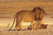 moment of tenderness between a lion and a lion cub Namibia