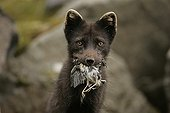 Portrait of Arctic fox holding a hunted bird in its mouth