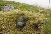 Arctic fox cub hidden in moss to escape predators