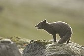Arctic fox on a moss covered rock in Iceland