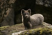 Arctic fox lying down a moss covered rock in Iceland ; The animal had scratched the moss at the top of the rock to form its resting place.<br>The specimen shows annoyance toward the photographer's behaviour.