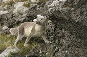 Arctic fox smelling at marks of fellow creature on a rock