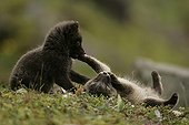 Two Arctic fox cubs playing on moss during springtime ; Fox cubs are few weeks old.