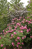 """Rose """"Angela"""" and Ninebark """"Diablo"""" in May France ; Synonym : <br>Rosa """"Angelica"""""""
