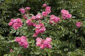 """Rose """"Angela""""  in May France ; Synonym : <br>Rosa """"Angelica"""""""