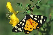 Cream-spot tiger sitting on a yellow flower Alsace France