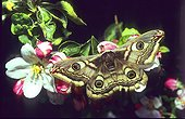 Giant silkworn moth catch a white flower Alsace France