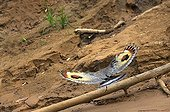 Sunbittern on the river bank Heath Tambopata Peru ; Location: Heath river center