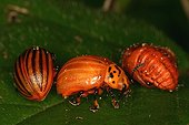 Colorado potato beetle larvaes Evere Belgium