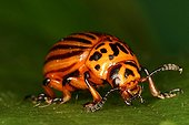 Colorado potato beetle in garden Evere Belgium