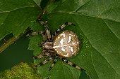 Four spot orb weaver Moeraske natural reserve Belgium