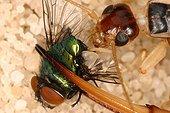 Common brown earwig eating e fly Midi Pyrénées France