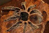 Tarentula Lasiodora in terrarium Gand Belgium