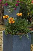 Gazania in bloom on a garden terrace