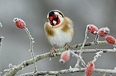 Goldfinch on a frosted Wild Dog Rose Limousin France