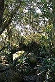 Forêt primaire d'altitude Afrique du Sud ; Site : Blyde River Canyon (Canyon de la rivière de joie)