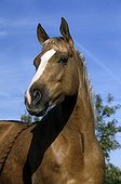 Portrait of a quarter horse mare dress palomino France