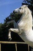 Cheval de selle gris à longue crinière se cabrant France