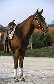 Quarter Horse alezan harnaché selle et bride western France