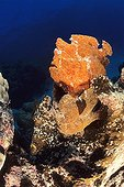 Frogfish work is frozen into the rock Noumea Oceania