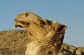 Portrait of a Camel to bedoin of Alwad-Baraka Egypt