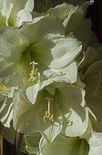 Flower white Amaryllis' Mont Blanc '