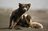 Renard polaire assis sur le littoral et se grattant Islande ; Le cliché montre les restes de fourrure hivernale sur les flancs et la queue de l'animal.