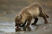 Arctic fox cub lapping up rainwater in a puddle on a rock ; Fox cub is few weeks old.