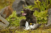 Arctic fox cub yawning while playing with a bird carcass' ; Fox cub is few weeks old.<br>The bird carcass' is a bait used by the photographer to make his report.