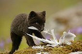 Arctic fox cub gnawing at a bird carcass Iceland ; Fox cub is a few weeks old. The bird carcass is a bait used by the photographer to make his report.