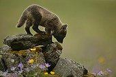Arctic Fox cub smelling marks on moss covered rocks ; Fox cub is a few weeks old.