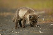 Arctic Fox cub smelling at droppings on the ground Iceland ; Fox cub is a few weeks old.