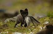Arctic Fox cub holding a prey in its mouth Iceland ; Fox cub is a few weeks old. The bird's carcass is a bait from the photographer to make his report.