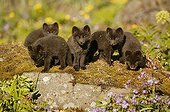 Arctic Fox cubs watching out of their burrow Iceland ; Fox cubs are a few weeks old. They are staring at a precise point.