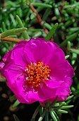 Purslane flower France