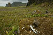 Arctic fox cub near a bird carcass on a moss covered rock ; The fox cub is a few weeks old. The perspective view shows a waterfall in the background, frequent appearance in the islandic landscpe. The bird carcass is a bait from the photographer to make his report.