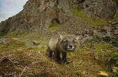 Arctic Fox cub smelling the photographer's presence ; The fox cub is a few weeks old.