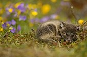 Arctic Fox cub asleep on moss covered ground Iceland ; The fox cub is a few weeks old.