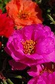 Rose moss flowers France
