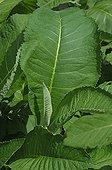 Green Leaf of Elecampane