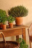 Thym et Basilic en pot sur une table France