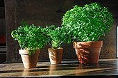 Sweet basil Coriander and Curled parsley in pot France