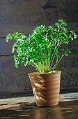 Curled parsley in pot France