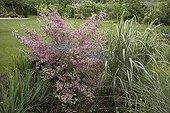 "Weigelia ""Kosterniana variegata"" and Miscanthus ""Cabaret"" ; Garden : ""Jardin du fond de l'or"" Mr Lubet"